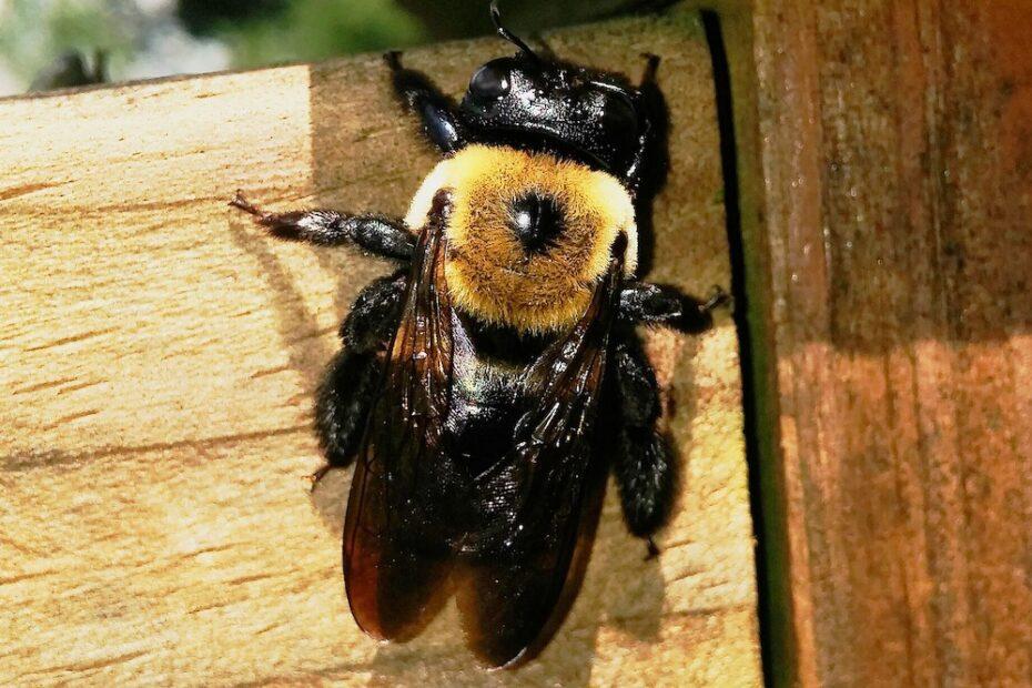 log-home-carpenter-bee